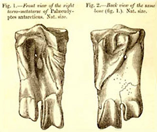 Palaeeudyptes antarcticus