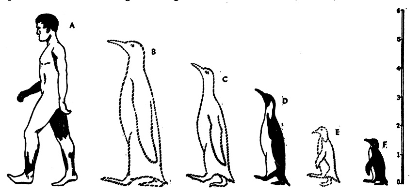 Emperor penguin size comparison - photo#21
