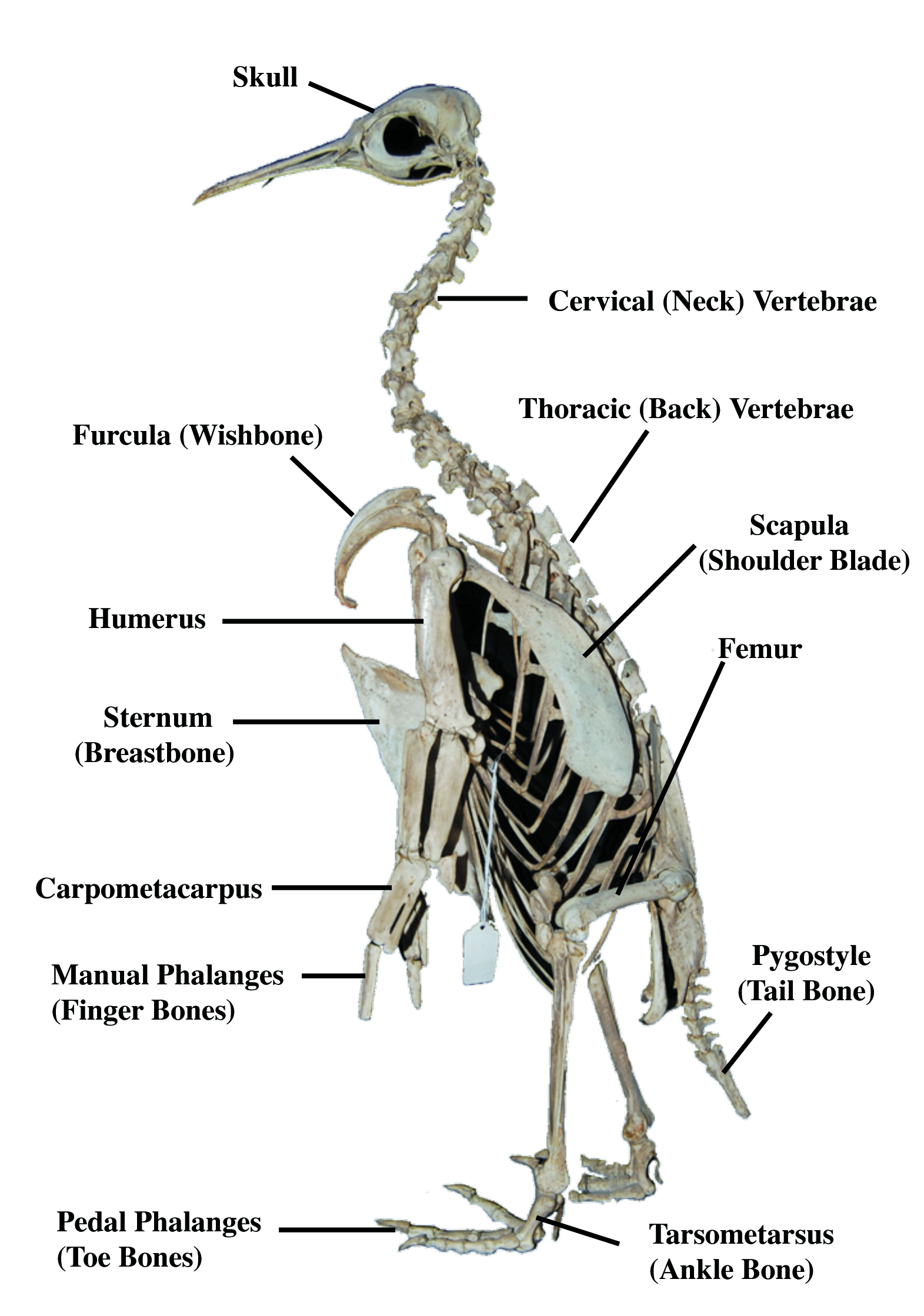 A Map For Our Tour Of The Penguin Skeleton March Of The Fossil