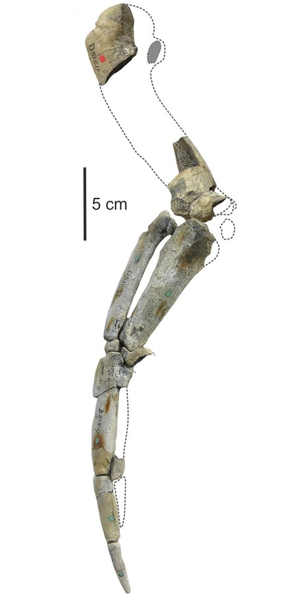 "Reconstruction of a wing skeleton of Anthropornis sp. (NHMUK A3348/3355, 3360[I]). Courtesy of Piotr Jadwiszczak who acknowledges financial support through SYNTHESYS funding made available by the European Community – Research Infrastructure Action under the FP7 ""Structuring the European Research Area"" Programme; project GBTAF-987."