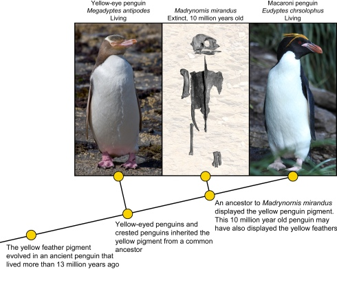 Image by Dr. Daniel Thomas, with Yellow-eyed penguin photo from Christian Mehlfuhrer, Macaroni penguin photo from Liam Quinn, Madrynornis images from Acosta Hospitaleche et al. 2007. Click to read the article at Illuminating Fossils.