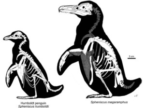 Skeletal outlines of a modern Humboldt Penguin and the extinct Spheniscus megaramphus by Martín F. Chávez Hoffmeister.