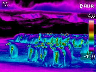 Infrared imaging of Emperor Penguins. Colors correspond to the surface temperature (in Celsius).  Copyright: A.M Thierry - A. Ancel / CNRS – IPEV