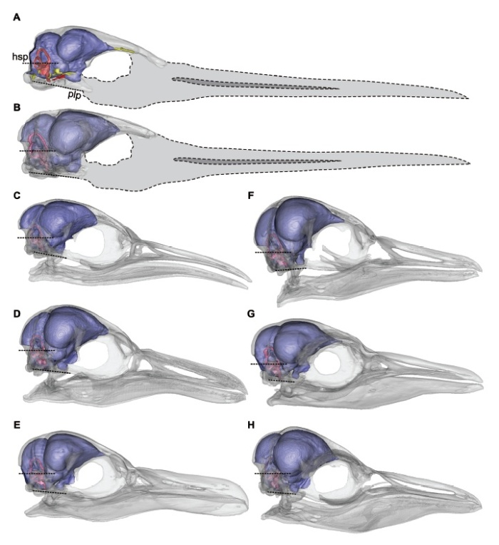 Reconstructions of the brain (blue), semicircular canals (pink), cranial nerves (yellow) and carotid artery canal (red)  in penguins. (a) Antarctic fossil, (b) Paraptenodytes antarcticus, (c) Emperor Penguin, (d) Black-footed Penguin, (e) Magellanic Penguin, (f) Little Blue Penguin, (G) Chinstrap Penguin, (H) Adélie Penguin. Not to scale. IMage from Tambussi et al. (2015)
