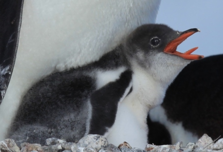 Gentoo_Penguin_chick_showing_some_tongue_(6063646370)