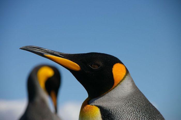 1200px-King_penguin_blue_and_orange